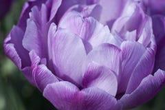 De gevoelige tulp van de de lentebloem Stock Fotografie