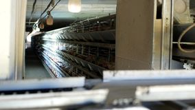 De gevogeltefabriek om kippeneieren, kippeneieren te maken gaat door transportband, close-up, productie stock video