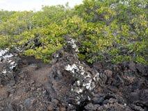 De gevulde lava op eiland Islote Tintoreras herdenkt op de maan landt, de Galapagos, Ecuador royalty-vrije stock fotografie