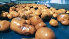 De gewassen aardappels bewegen zich langs de vervoerder stock footage