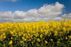 De gewassen Australië van Canola Royalty-vrije Stock Afbeeldingen