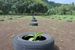 De de gewassenboom van het Nonifruit groeit op Rarotonga Cook Islands Royalty-vrije Stock Foto