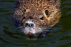 De gewone bever, of de Latijnse de Bevervezel van de rivierbever zijn een semi-aquatisch zoogdier van de orde van knaagdieren royalty-vrije stock fotografie