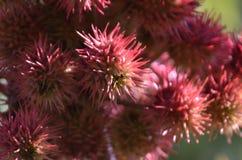 De gewone wonderolieinstallatie met ronde zaden zoals stekelige ballen stock foto