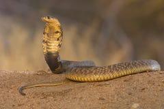 De gewroete slang Zuid-Afrika van de Cobra royalty-vrije stock foto's