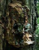 De gezellig ouderwetse schors van de boom kijkt als een spook, een monster, een kobold, eng, een piraat als de glans van licht en Stock Fotografie