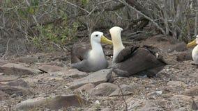 De gezette gegolfte bekken van de albatroskraan op islaespanola in de Galapagos te plakken stock footage