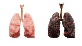 De gezonde longen en de ziektelongen op wit isoleren Autopsie medisch concept Kanker en het roken probleem Stock Foto's