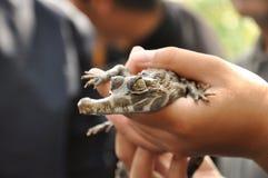 de gharial baby van het nadrukoog op hand van mens Stock Fotografie