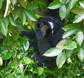De Gibbon van Siamang Stock Fotografie
