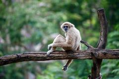 De gibbonnen is in de Open Dierentuin van Khao Kheow, Thailand Stock Foto's