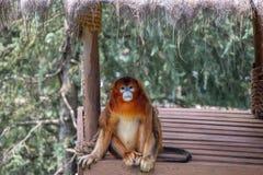 De gibbonnen zijn de algemene naam voor de primaatdieren Zij worden genoemd voor hun speciale lengte De palmen zijn langer dan s royalty-vrije stock foto