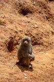 De gibbonnen zijn de algemene naam voor de primaatdieren Zij worden genoemd voor hun speciale lengte De palmen zijn langer dan s royalty-vrije stock foto's