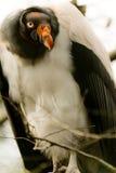 De gier van de koning Stock Foto