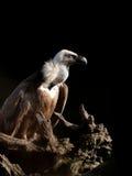 De gier van Griffon Stock Foto's
