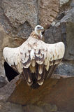 De gier van Griffon Stock Foto