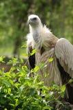 De gier van Griffon Royalty-vrije Stock Fotografie