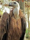 De gier van Griffon, fulvus Gyps Stock Fotografie