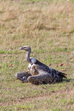 De Gier van Griffon van Ruppell in Masai Mara Royalty-vrije Stock Fotografie