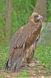 De gier van Himalayan Griffon Royalty-vrije Stock Afbeeldingen