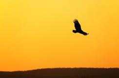 De gier van Turkije Stock Foto's