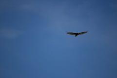 De gier van Turkije, Cathartes-aura die in blauwe hemel vliegen Royalty-vrije Stock Foto's