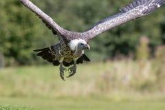 De gier vliegend hoofd van Ruppellsgriffon  Sluit omhoog van Afrikaanse sca Royalty-vrije Stock Foto's