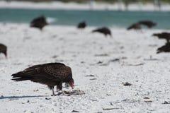 De Gieren die van Turkije dode vissen van het strand van zuidwestenflorida na rood getijde schoonmaken Royalty-vrije Stock Foto