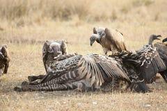 De gieren snijden omhoog caracasses van zebra stock fotografie