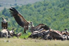 De gieren van Griffon Stock Fotografie