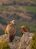 De Gieren van Griffon op een rots Stock Foto