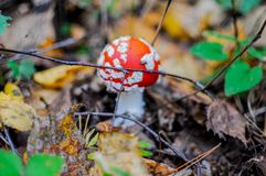 de giftige paddestoelen van de vliegplaatzwam in een bos - de herfst Royalty-vrije Stock Afbeelding