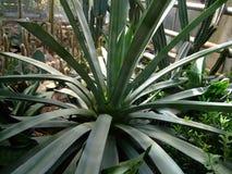 De gigantische groene agave groeit in botanische tuin royalty-vrije stock foto's
