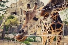 De giraf buigt en onderzoekt neer de camera door een omheining Royalty-vrije Stock Afbeeldingen