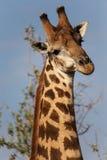 De giraf in een model stelt Royalty-vrije Stock Fotografie