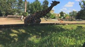 De giraf eet gras in de dierentuin stock video