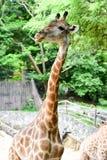 De giraf eet voedsel Stock Afbeelding