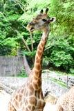 De giraf eet voedsel Stock Foto's