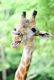 De giraf eet voedsel Royalty-vrije Stock Afbeelding
