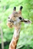 De giraf eet voedsel Stock Afbeeldingen