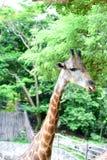 De giraf eet voedsel Stock Fotografie