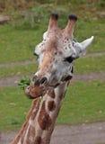 De giraf van Ating Royalty-vrije Stock Foto's