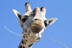 De giraf van Baringo Stock Foto's