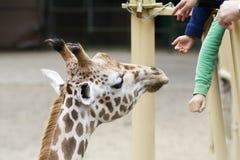 De giraf van de dierentuin Stock Afbeeldingen