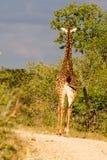De Giraf van de zonsondergangweg stock fotografie
