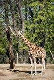 De giraf van lange Rothschild Royalty-vrije Stock Foto