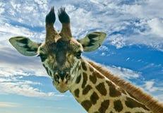 De Giraf van Maasai Stock Foto