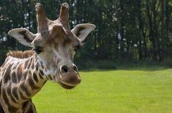 De Giraf van Rothschild Royalty-vrije Stock Fotografie