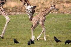 De Giraf van Rothschild Stock Foto's