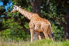 De Giraf van Rothschild royalty-vrije stock foto
